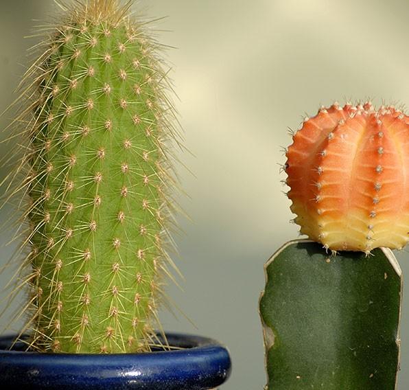 entretien de plantes grasses